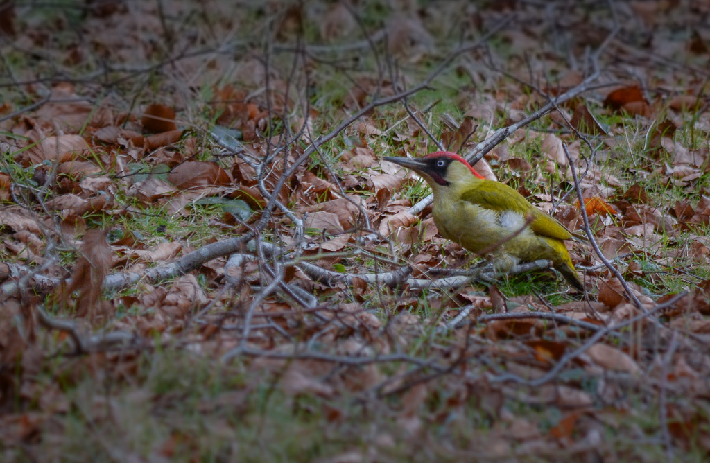 Green Woodpecker by ilovelenses