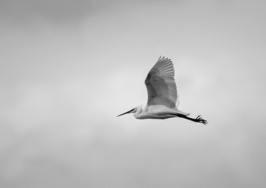 Little Egret by ilovelenses
