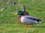 9th Mar 2020 - Mallards