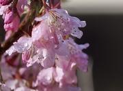 8th Mar 2020 - Blossoms and rain