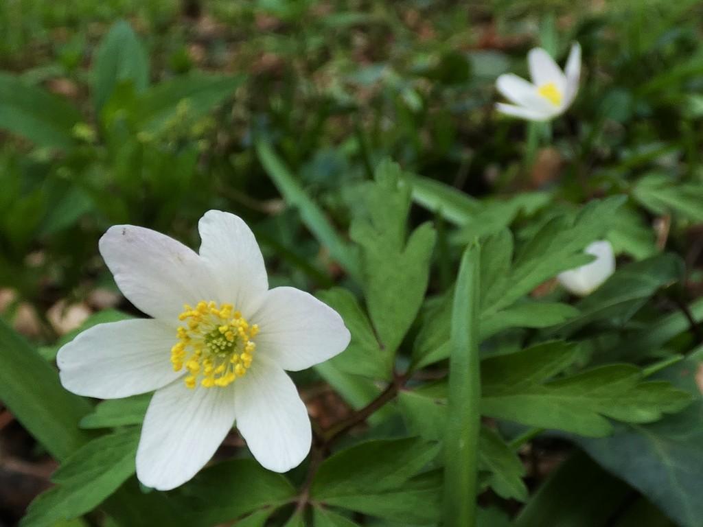 Wood anemone by julienne1