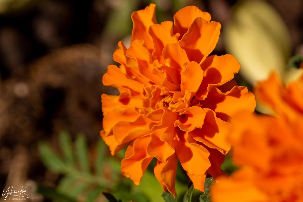 Marigold by yorkshirekiwi