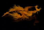 10th Mar 2020 - Lost Orange Feathers DSC_7307
