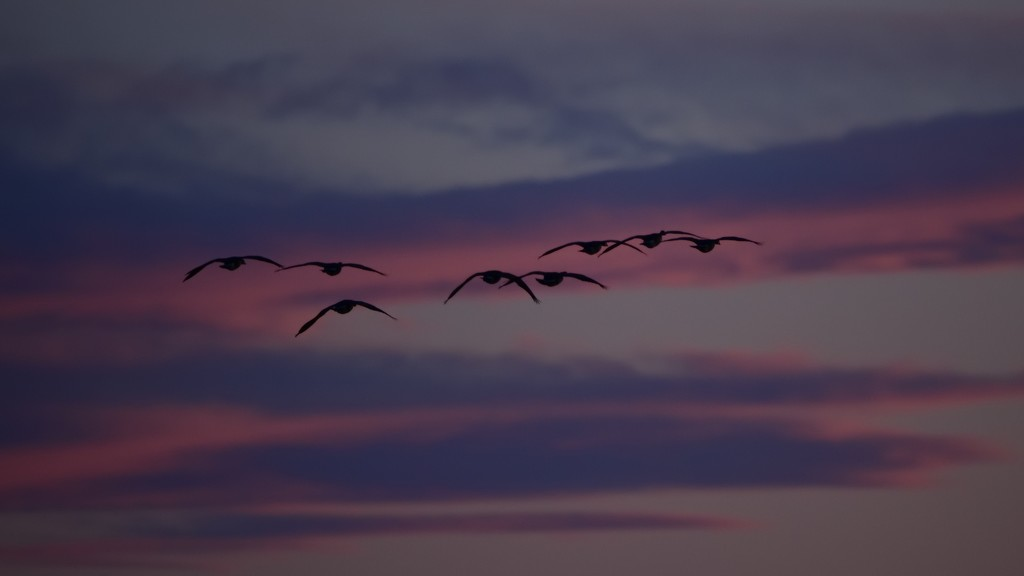 Canada geese coming into the Bow River after sunset by mjalkotzy