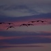 Canada geese coming into the Bow River after sunset