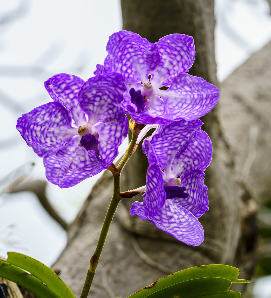 Purple Orchid  by jgpittenger