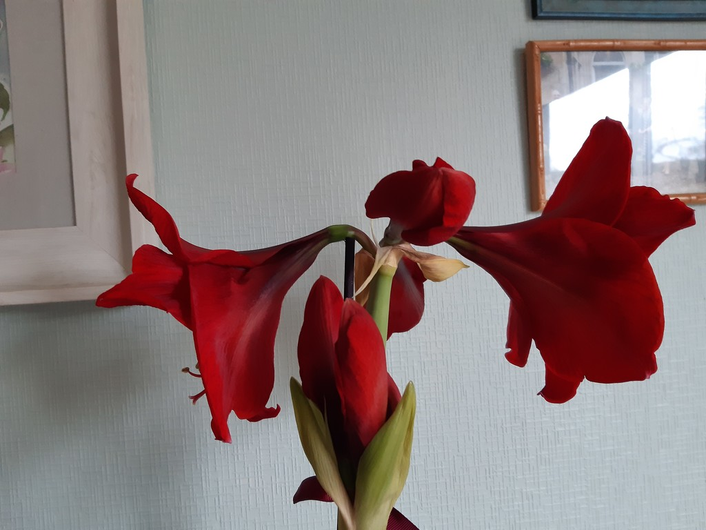 Red trumpets all round  by sarah19