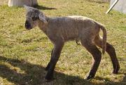 10th Mar 2020 - Newborn Lamb