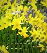 11th Mar 2020 - Yellow Haiku