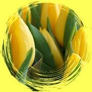 11th Mar 2020 - yellow tulips