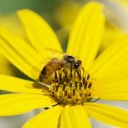 11th Mar 2020 - The Bees Like Jerusalem Artichokes Too DSC_0888