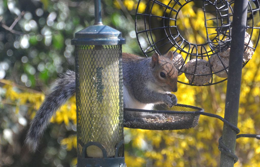 Grey Squirrel by arkensiel