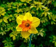 11th Mar 2020 - Daffodil.