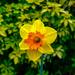 Daffodil. by tonygig