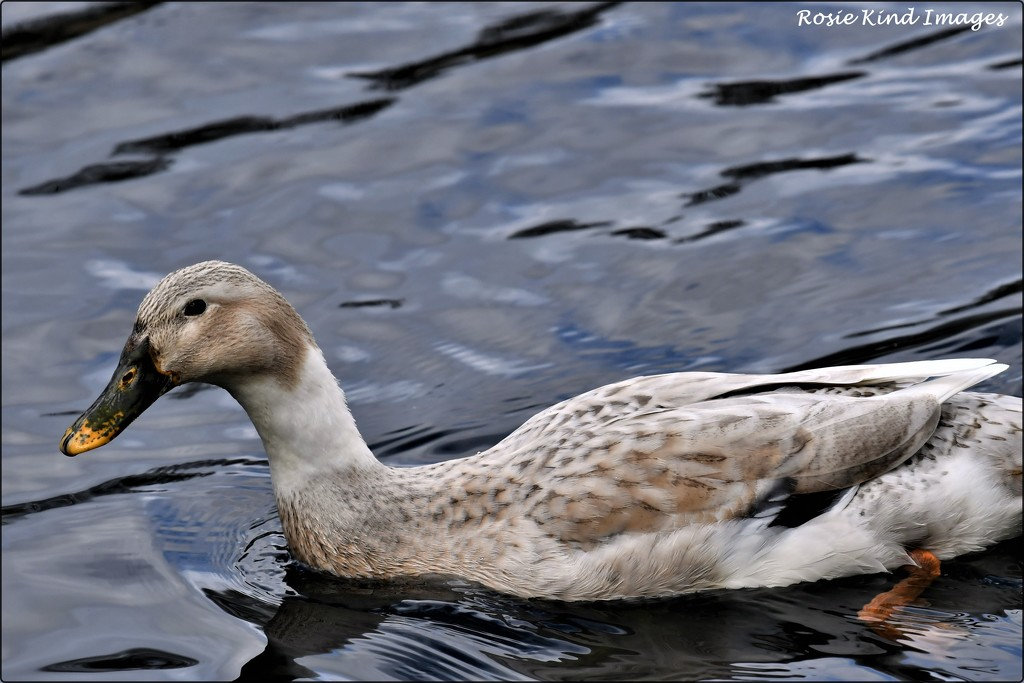 Can anyone identify this duck for me? by rosiekind