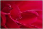 31st Jan 2020 - rose