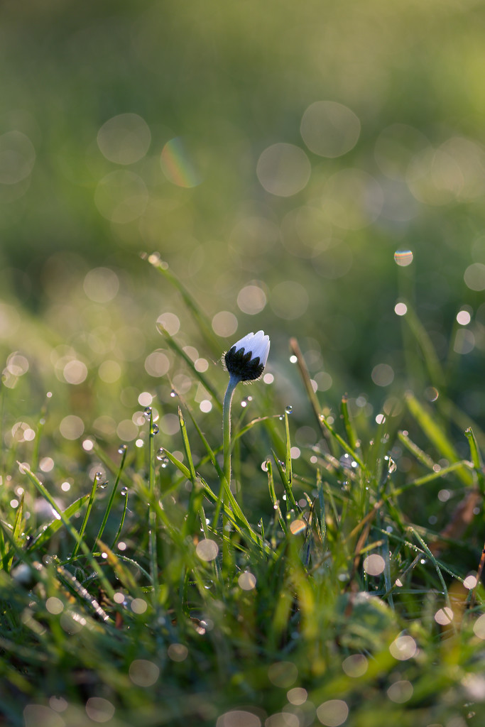 daisy in the morning by lastrami_