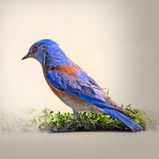 11th Mar 2020 - Western Bluebird