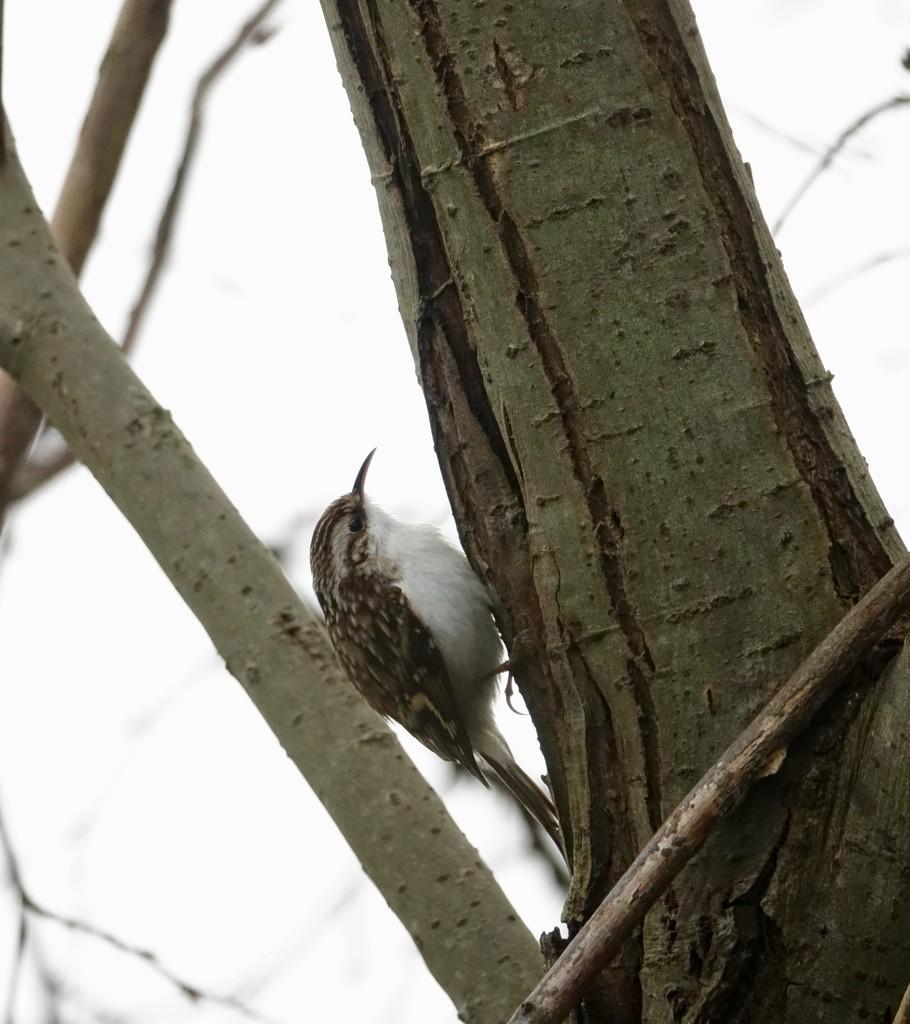 Treecreeper by chris17