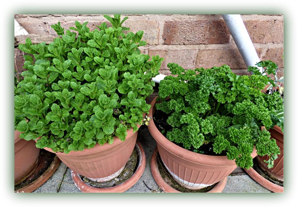 Herbs  by beryl