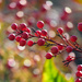 Berry Bokeh by seattlite