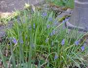 12th Mar 2020 - Muscari