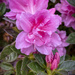 Pink Azalea by kvphoto