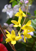 11th Mar 2020 - Forsythia