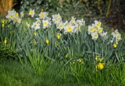 12th Mar 2020 - An array of white daffodils