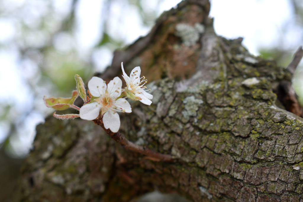 Tiny pear blossoms by homeschoolmom