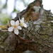 Tiny pear blossoms