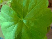 12th Mar 2020 - Geranium Leaf