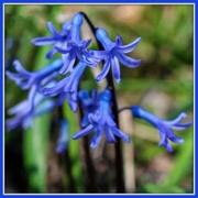 13th Mar 2020 - A Little Blue Surprise
