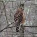 Red-Shouldered Hawk by olivetreeann