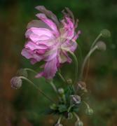 4th Mar 2020 - Japanese wind flower