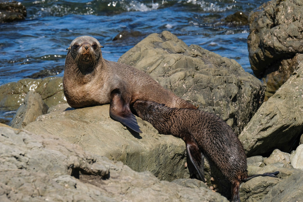 New Zealand fur seal feeding her pup by maureenpp