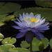 Blue Lotus by ethelperry
