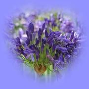 13th Mar 2020 - agapanthus in blue...