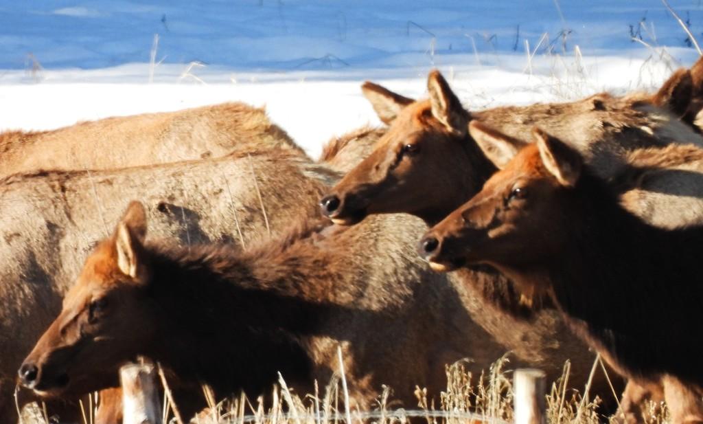 Elk by janeandcharlie