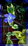 13th Mar 2020 - Periwinkle