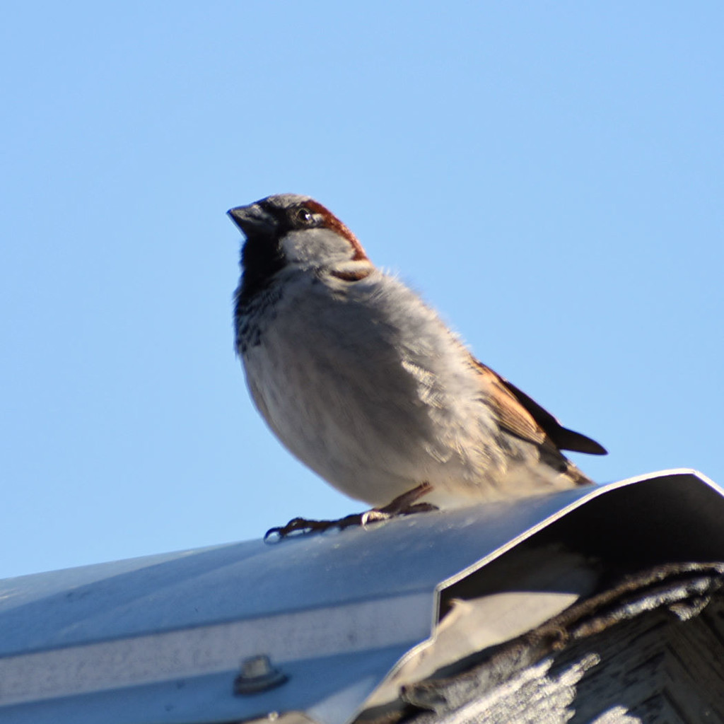 Rooftop Sparrow by bjywamer