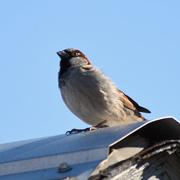 13th Mar 2020 - Rooftop Sparrow