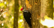 13th Mar 2020 - Pileated Woodpecker Pecking the Trees!