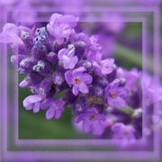 14th Mar 2020 - lavender's blue