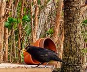 14th Mar 2020 - Blackbird Feeding Station.