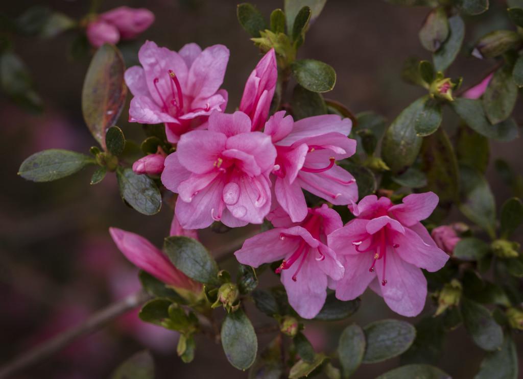 My Pink Azalea by kvphoto
