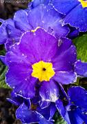 14th Mar 2020 - Indigo Flowers