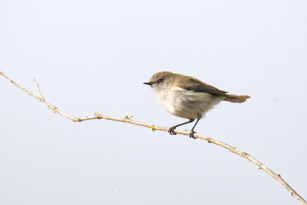 Grey warbler by maureenpp