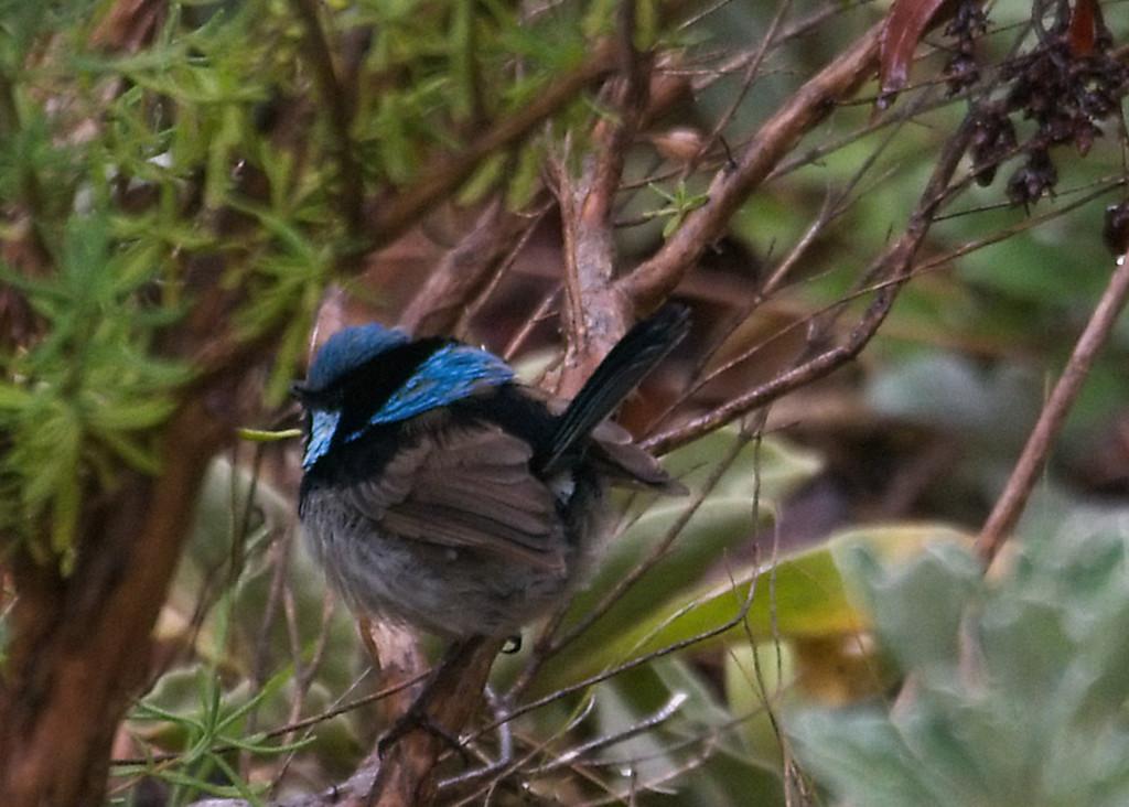Fluffy Blue Wren  by fr1da