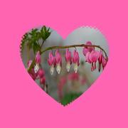 15th Mar 2020 - dicentra aka bleeding hearts